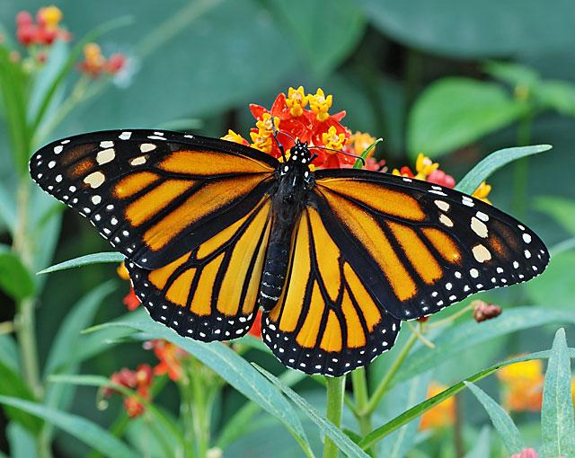 Torna la magica notte delle farfalle a bordano radio for Foto farfalle colorate